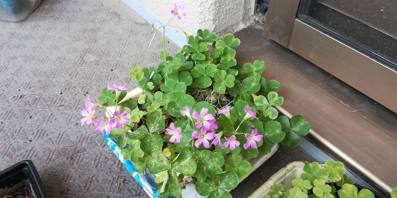 三つ葉のクローバーの花